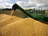 Кукуруза - фото 3