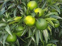 Продам мандарины и лимоны с Италии !Ищу оптового покупателя - фото 1